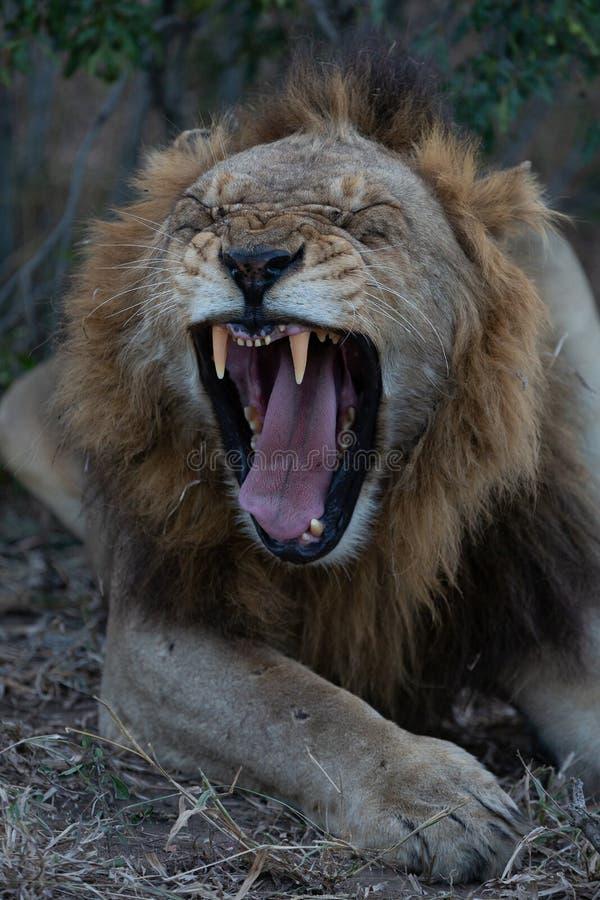 Leone maschio di sbadiglio che mostra i suoi denti immagini stock libere da diritti
