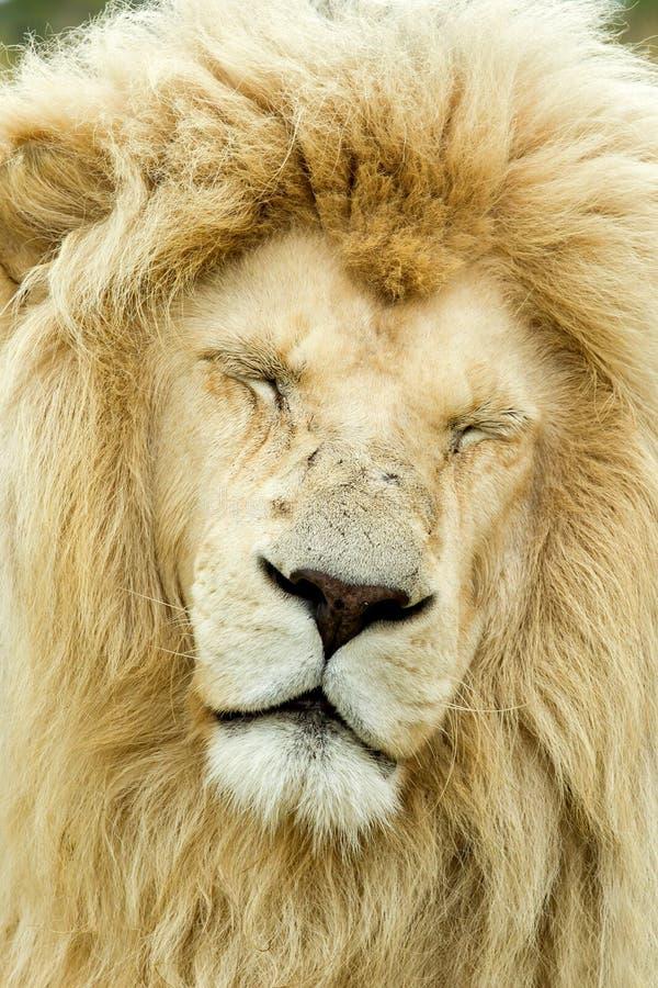 Leone maschio di sonno fotografie stock