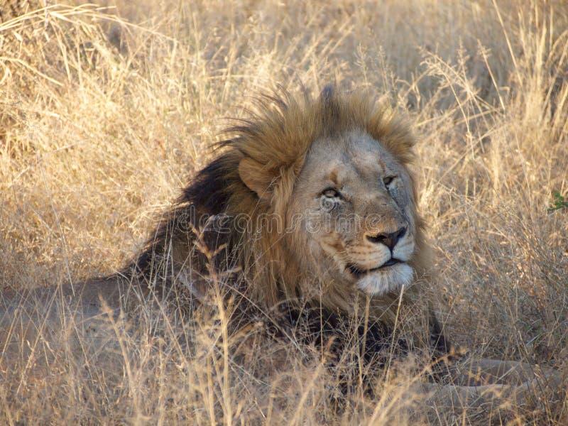 Leone maschio Maned nero adulto fotografie stock
