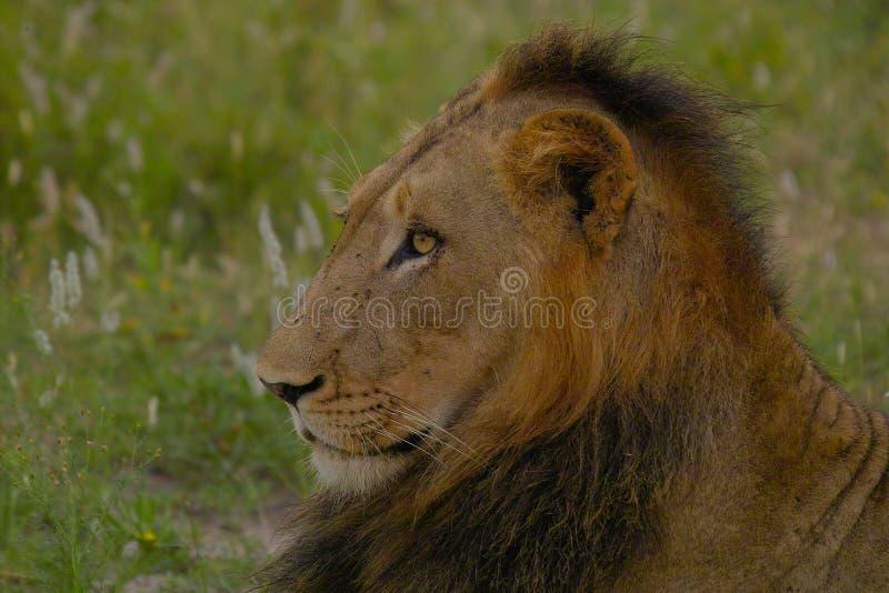 Leone maschio (panthera Leo) nel parco nazionale di Kruger fotografia stock libera da diritti
