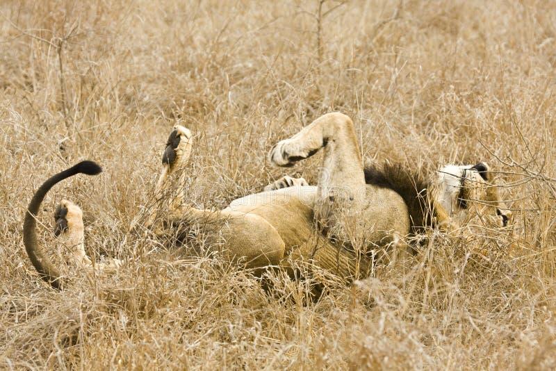 Leone maschio selvaggio che dorme nell'erba, parco nazionale di Kruger, Sudafrica fotografia stock libera da diritti