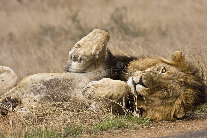 Leone maschio selvaggio che dorme, parco nazionale di Kruger, Sudafrica immagine stock libera da diritti