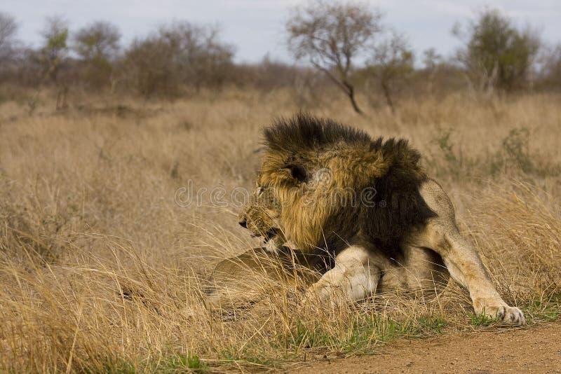 Leone maschio selvaggio che si riposa nel cespuglio, Kruger, Sudafrica immagine stock