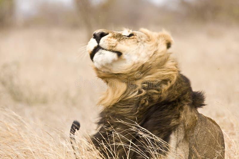 Leone maschio selvaggio che si scuote, parco nazionale di Kruger, Sudafrica fotografie stock libere da diritti