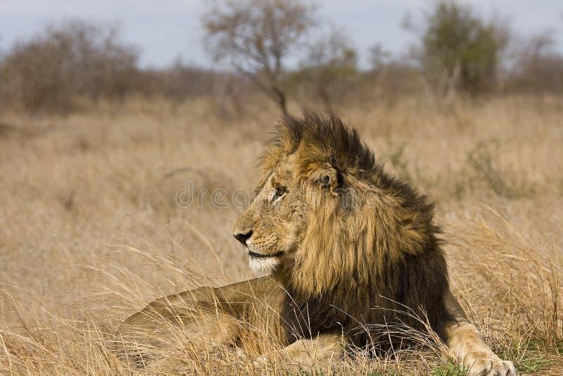 Leone maschio selvaggio nell'erba, parco nazionale di Kruger, Sudafrica fotografia stock