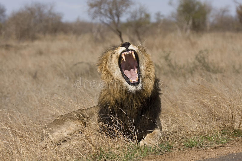 Leone maschio selvaggio, parco nazionale di Kruger, Sudafrica fotografie stock libere da diritti