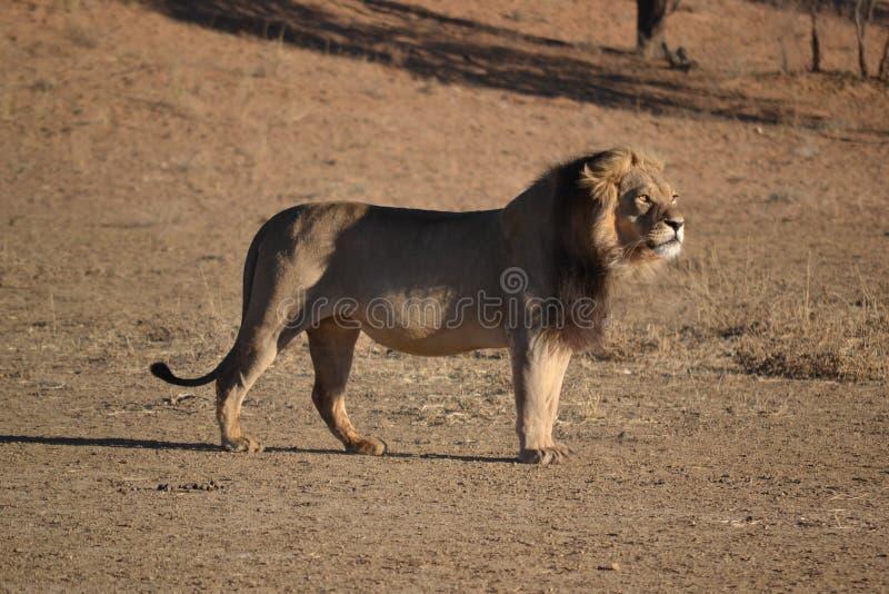 Leone nel parco nazionale di Kgaligadi fotografie stock libere da diritti