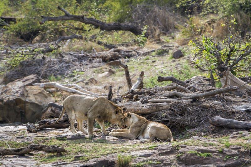 Leone nel parco nazionale di Kruger, Sudafrica fotografia stock