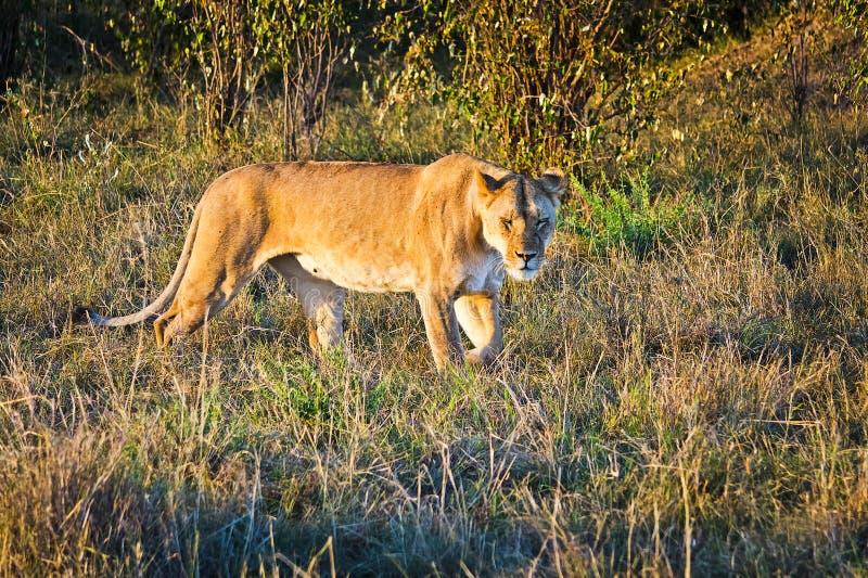 Leone nel selvaggio nell'Africano Leone - felines predatori immagini stock