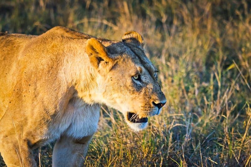 Leone nel selvaggio nell'Africano Leone - felines predatori fotografie stock libere da diritti