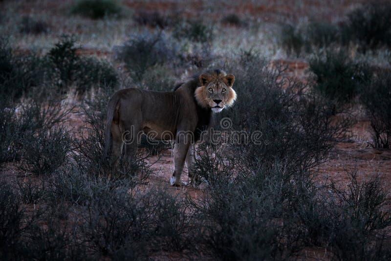 Leone nella mattina scura, Botswana di Kgalagadi Leone con la criniera nera, grande animale nell'habitat Ritratto del fronte del  fotografie stock