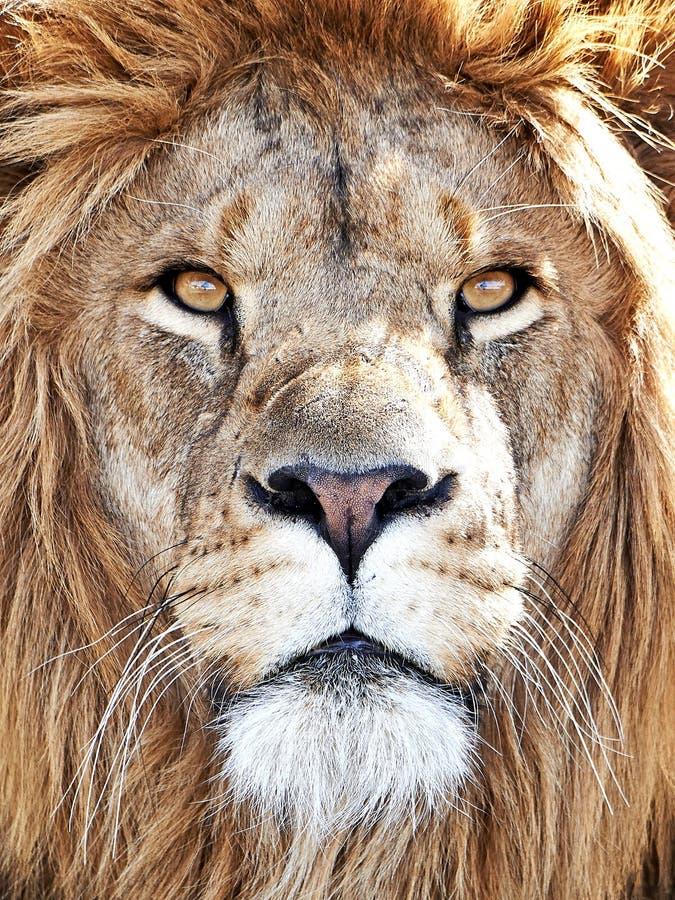 Leone (Panthera leo) fotografia stock