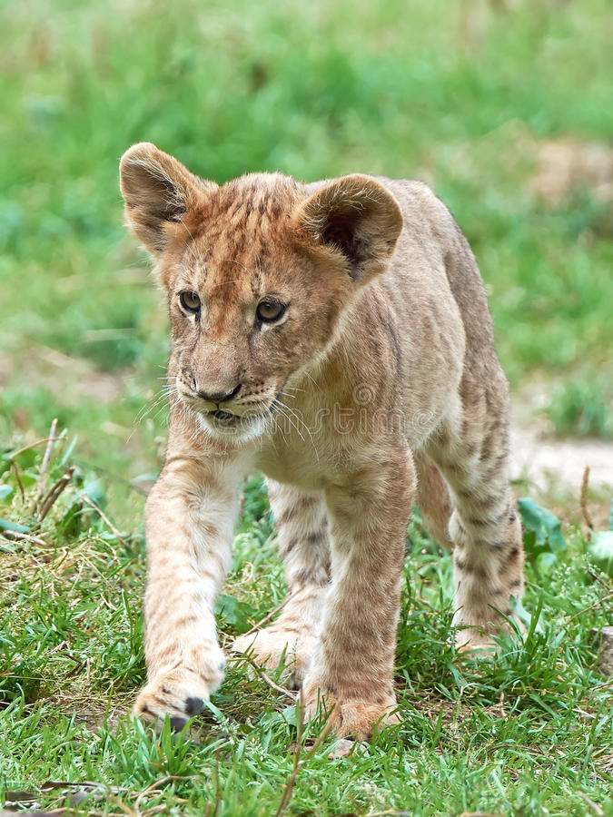 Leone (Panthera leo) fotografie stock