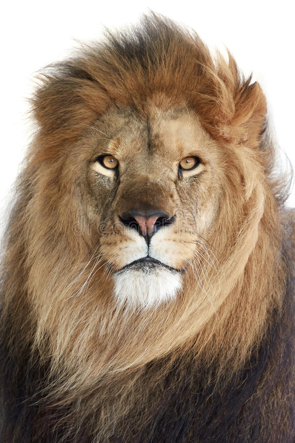 Leone (Panthera leo) fotografia stock libera da diritti