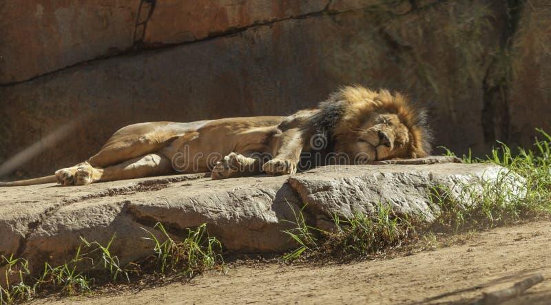 Leone, Panthera leo fotografia stock libera da diritti