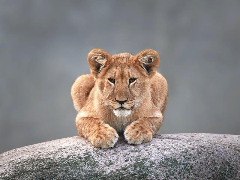 Leone (Panthera leo) fotografie stock libere da diritti