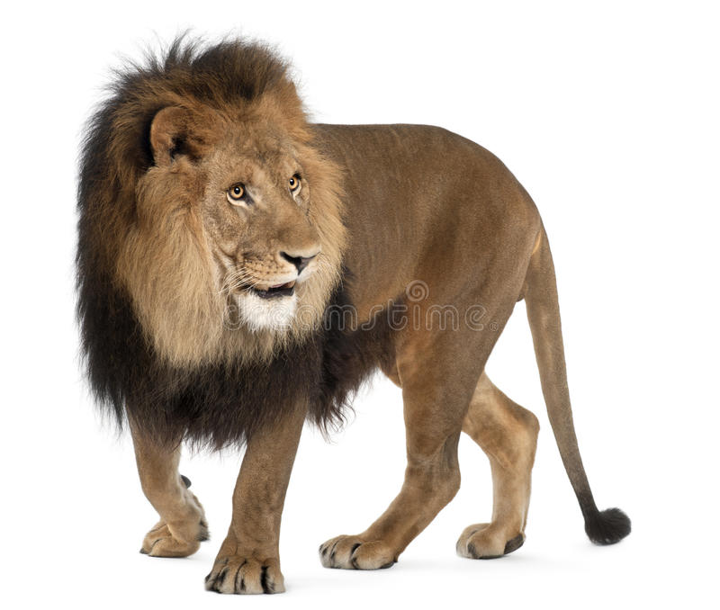 Leone, Panthera leo, 8 anni, levantesi in piedi fotografia stock libera da diritti