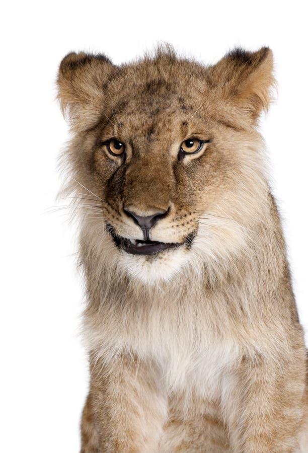 Leone, panthera Leo, 9 mesi, davanti ad un fondo bianco fotografia stock