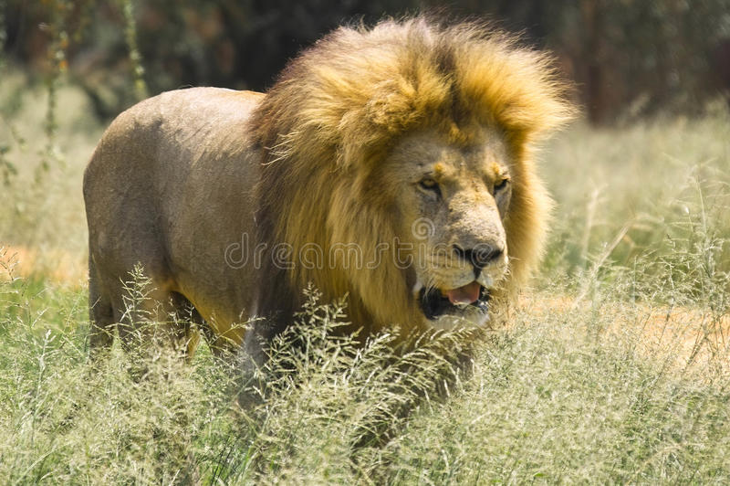 Leone (panthera Leo) nel parco nazionale di Kruger fotografia stock