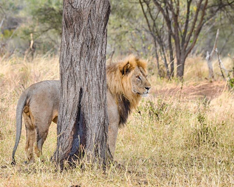 Leone, parco nazionale di Serengeti, Tanzania, Africa fotografia stock libera da diritti