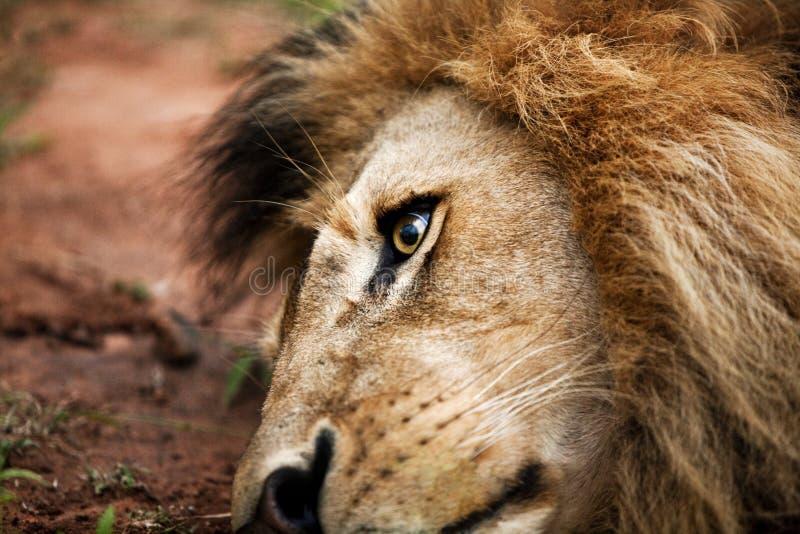 Leone sudafricano fotografia stock