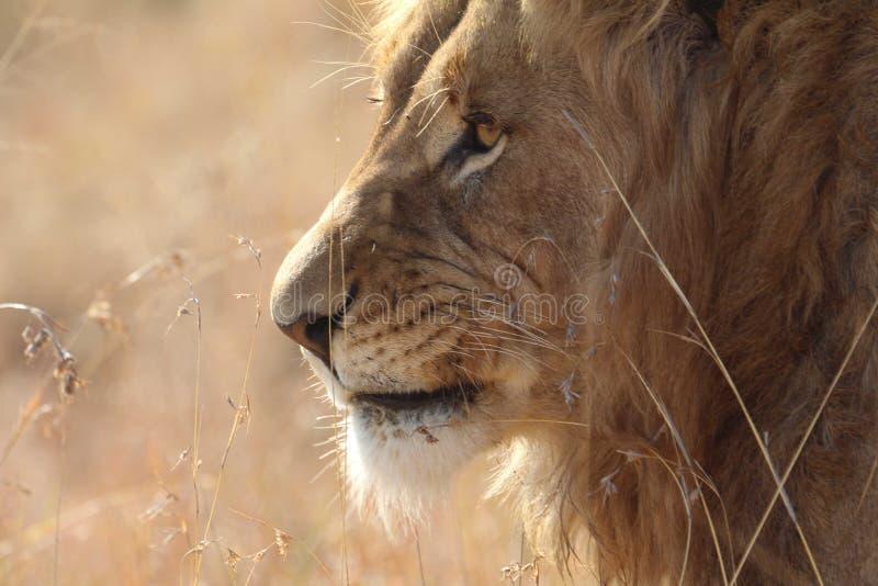 Leone sudafricano fotografia stock libera da diritti