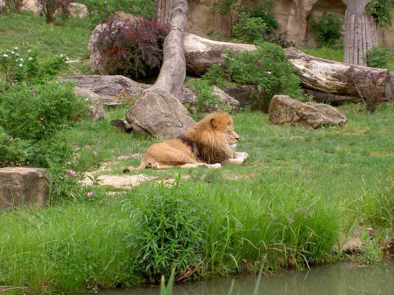 Leone, trovantesi e sonnecchiante sull'erba nel suo territorio, zoo Lesna, Zlin, repubblica Ceca fotografia stock