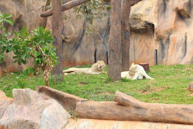 Leone in una natura allo zoo fotografie stock libere da diritti