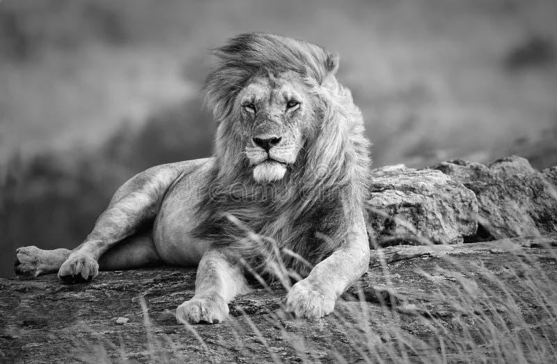 Leone vigoroso e bello che riposa nella savana africana, in bianco e nero immagine stock