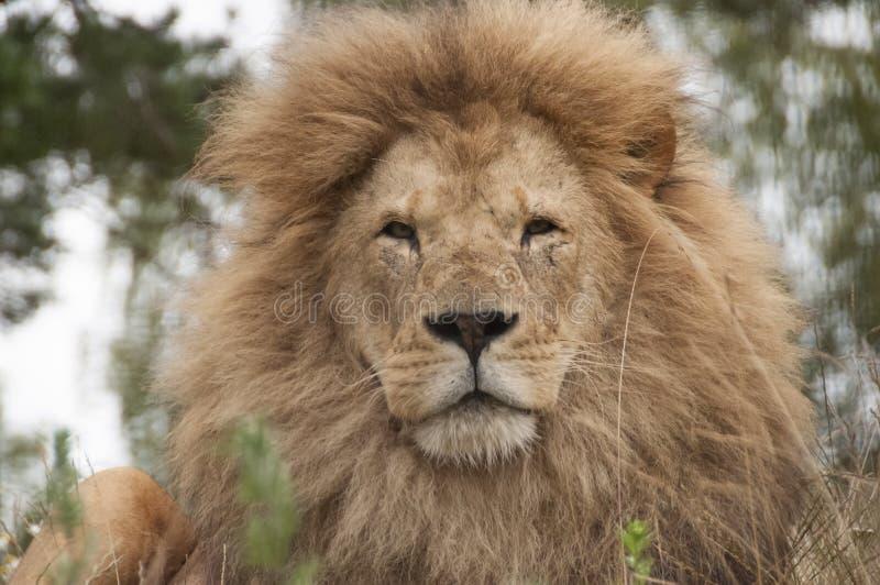 Leone - zoo di Kristiansand - la Norvegia immagini stock