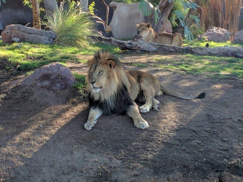 leones imagen de archivo libre de regalías