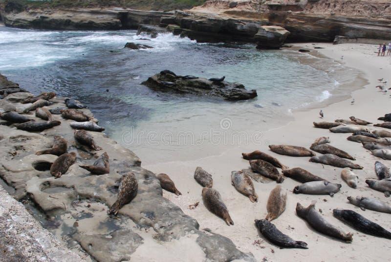 Leones de la ensenada y de mar de La Jolla horizontales foto de archivo