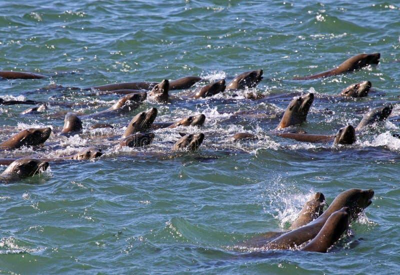 Leones de mar imagen de archivo