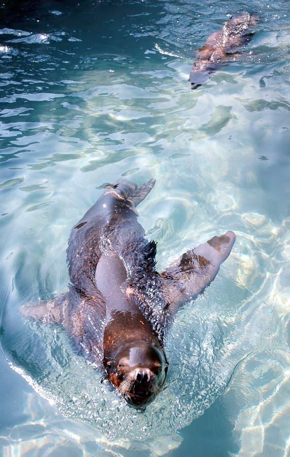 Leones de mar foto de archivo