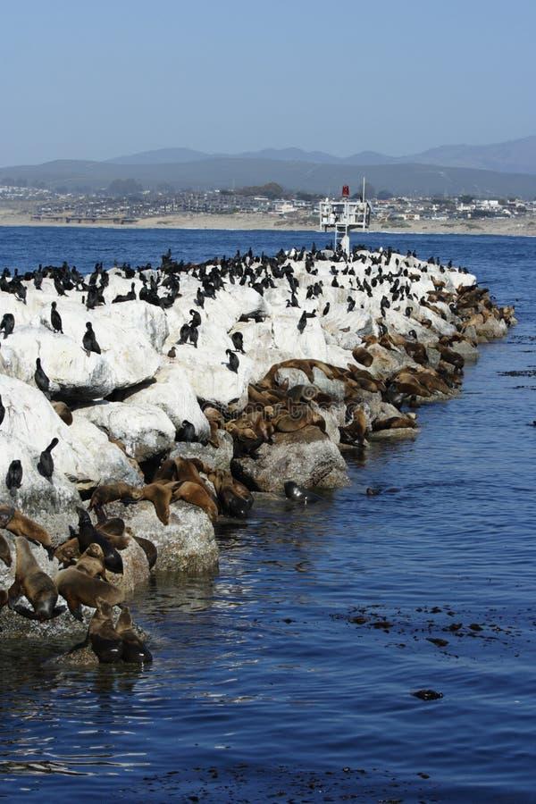 Leones de mar de California y cormoranes foto de archivo