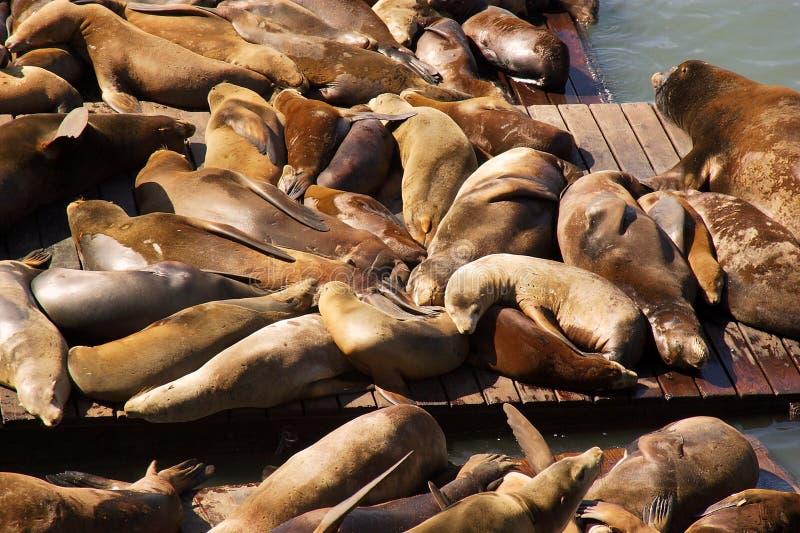 Leones de mar de San Francisco imagen de archivo libre de regalías