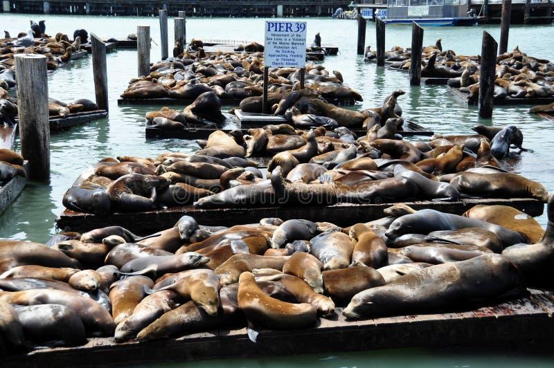 Leones de mar, embarcadero 39 fotografía de archivo libre de regalías