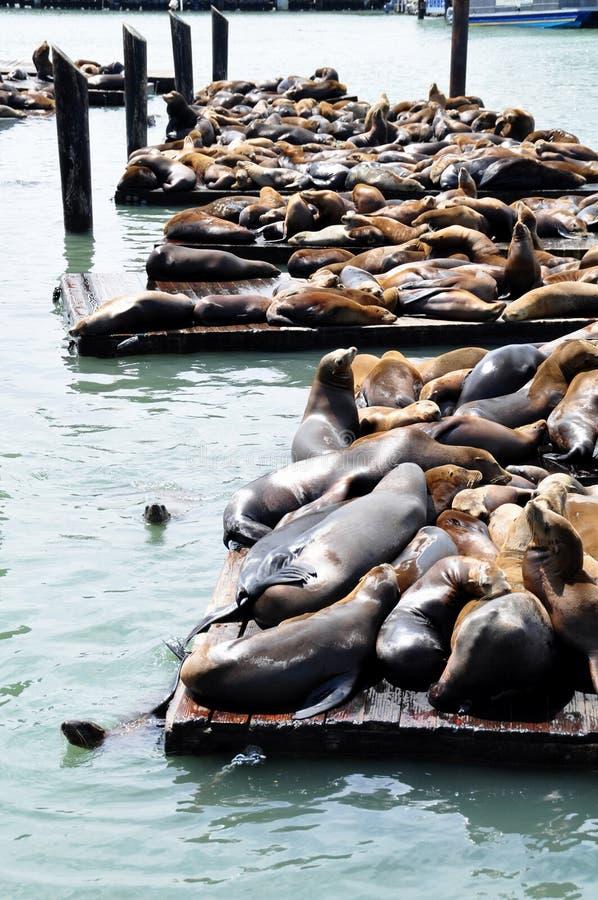 Leones de mar, embarcadero 39 foto de archivo