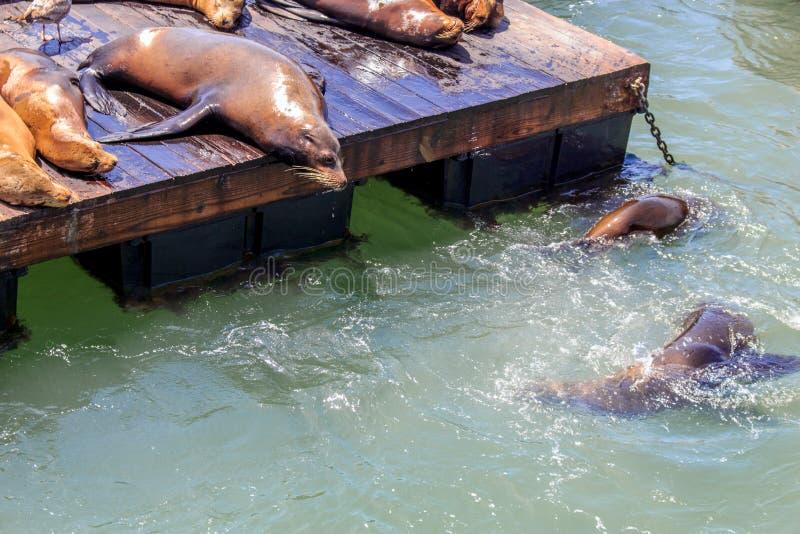 Leones de mar en el embarcadero 39 en San Francisco fotografía de archivo libre de regalías
