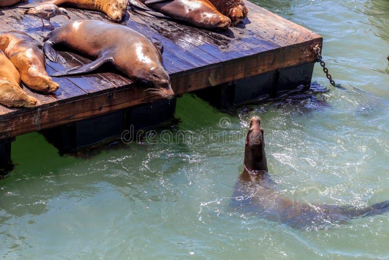 Leones de mar en el embarcadero 39 en San Francisco imágenes de archivo libres de regalías