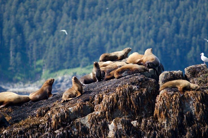 Leones de mar estelares imagen de archivo libre de regalías