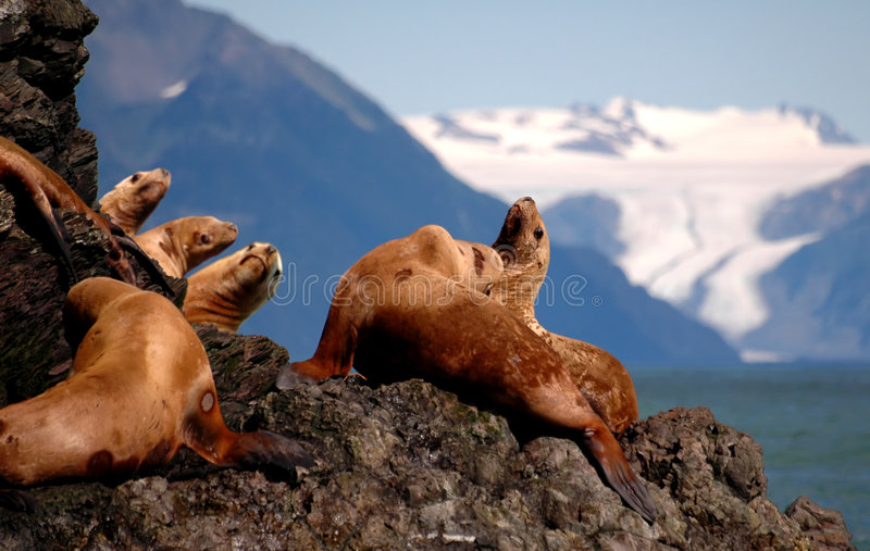 Leones de mar estelares en Alaska fotografía de archivo libre de regalías