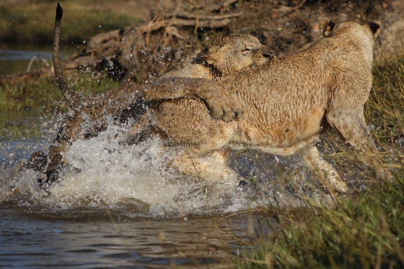 Leones en agua imagenes de archivo