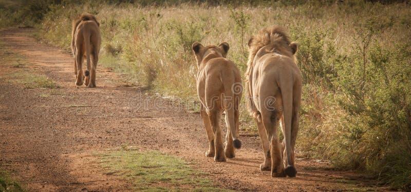 Leones en el salvaje en Kwazulu Natal fotografía de archivo