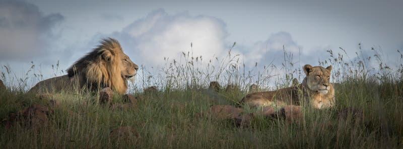 Leones en el salvaje en Kwazulu Natal foto de archivo
