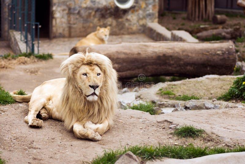 Leones en parque zoológico foto de archivo