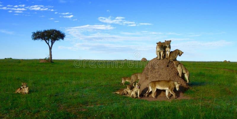 Leones en una colina de la termita fotografía de archivo libre de regalías