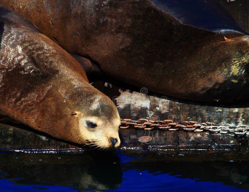 Leones marinos fotografía de archivo