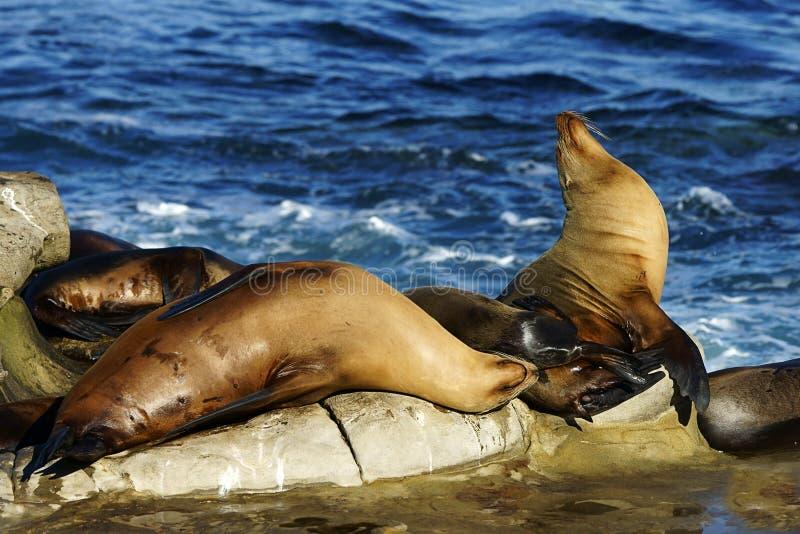 Leones marinos de Brown que descansan sobre la roca al lado del agua foto de archivo libre de regalías