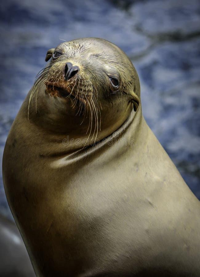 Leones marinos de California imagenes de archivo